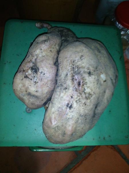 Lần đầu thấy củ khoai lang quá to nên gia đình chị Thoa không nỡ ăn