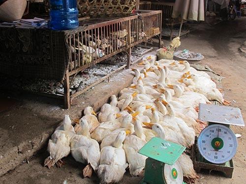 Không nên ăn tiết canh vịt vì vịt khỏe cũng có thể đang mang virus cúm A/H5N1