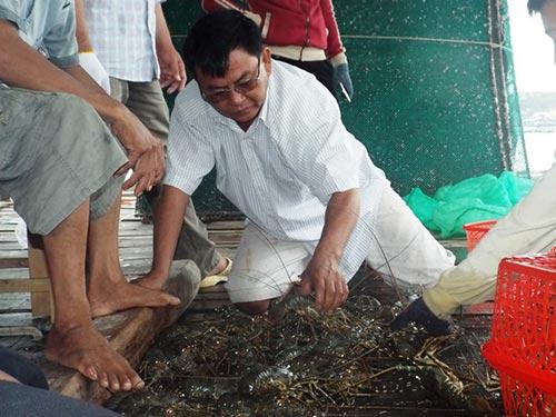 Một chủ đầu nậu thu mua tôm hùm ở tỉnh Khánh Hòa