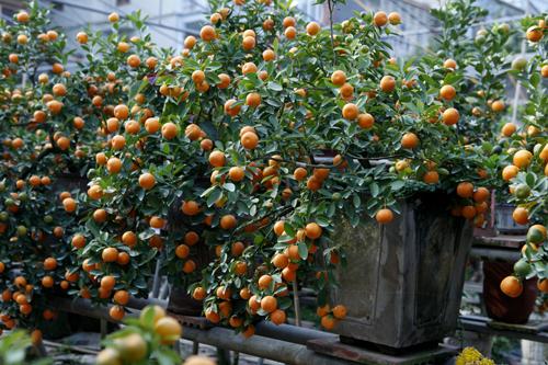 Các cây quất này thường được tạo dáng đẹp về một bên, tập trung nhiều quả, hoa...