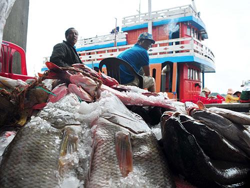 Sáng 10-2, tại cảng Sa Kỳ, hàng trăm tàu cá của ngư dân cập cảng. Trong ảnh: Ngư dân chuyển cá từ một con tàu vừa trở về từ Hoàng Sa