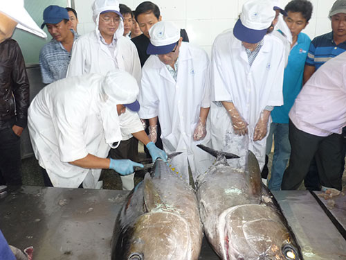 Các chuyên gia thẩm định chất lượng cá ngừ đại dương cho lô hàng thứ hai xuất sang Nhật vào sáng 31-1 tại tỉnh Bình Định