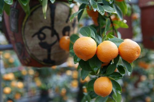 Tuy cây kích thước nhỏ nhưng cho trái vẫn to như cây quất lớn trồng trong chậu bình thường.