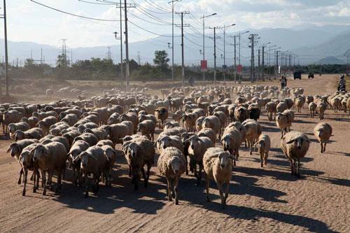 Người dân xã Nhị Hà, huyện Thuận Nam, tỉnh Ninh Thuận lùa cừu tránh hạn