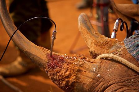 Sừng tê giác sẽ bị nhiễm độc có hại đối với con người