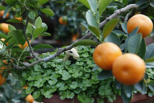 Năm nay là năm Ất Mùi nên chủ vườn quất đã khéo léo tạo khung cảnh xung quanh gốc quất bởi những chú dê nhỏ.