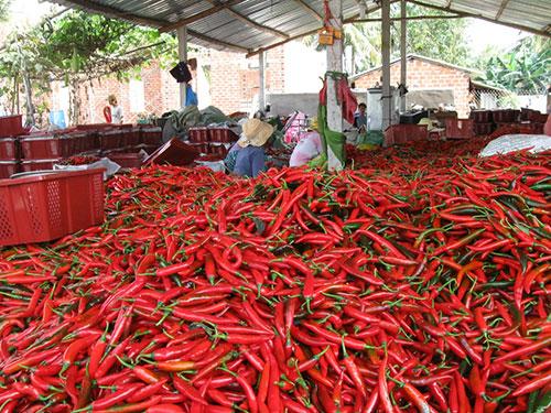Một cơ sở thu mua, chế biến ớt xuất sang Trung Quốc ở Bình Định