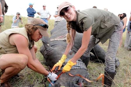 TS Lorenda và cộng sự đang truyền độc vào sừng tê giác