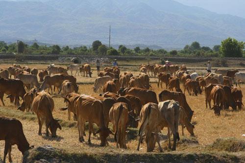 Hàng đàn cừu, bò... vất vả chạy hạn từ vùng cao về xuôi