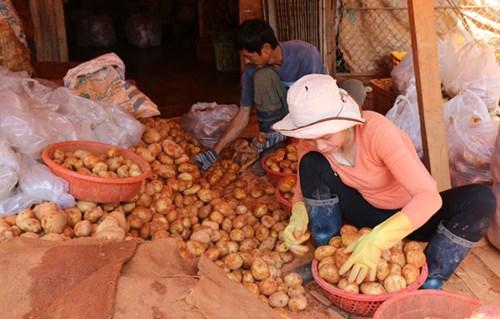 Khoai tây Trung Quốc tràn ngập chợ Nông sản Đà Lạt 8