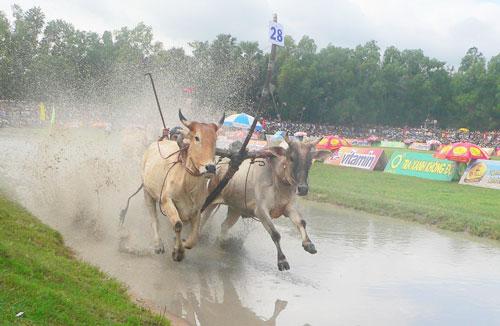 Một đôi bò đang lao về đích