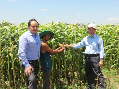 Mô hình trồng bắp giống - lúa mang lại thu nhập cao cho nông dân