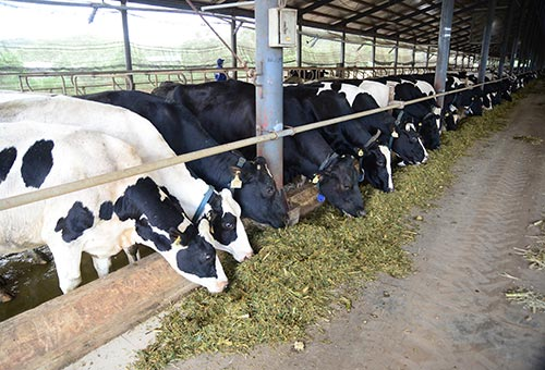 Trang trại bò sữa đạt tiêu chuẩn cung cấp sữa tươi nguyên liệu cho Vinamilk