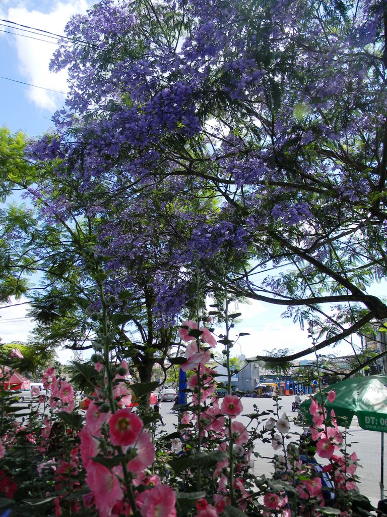 Cùng với những loài hoa khác ở Đà Lạt, phượng tím đã trở thành một biểu tượng cho vẻ đẹp nên thơ ở xứ ngàn hoa.
