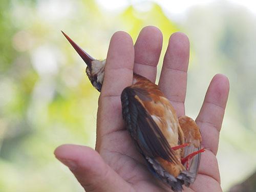 Bức ảnh khiến dư luận hiểu lầm là bàn tay của kiểm lâm viên đang học cách bắt chim đúng cách để lấy mẫu nghiên cứu. (Ảnh do nhiếp ảnh gia Tăng A Pẩu cung cấp)
