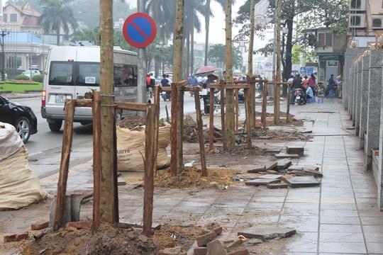 Hàng cây mỡ được trồng trên đường Nguyễn Chí Thanh thời gian qua sẽ được thay thế từ 1-8