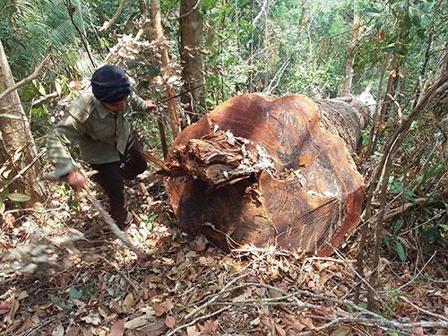 Một gốc cây lớn 4 người ôm bị đốn hạ trong rừng thuộc Tiểu khu 187 do Ban Quản lý rừng phòng hộ Đông Bắc Chư Pah quản lý