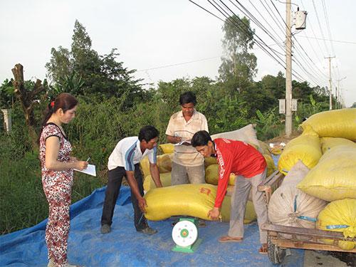 Nông dân phấn khởi vì thương lái đến tận ruộng để mua lúa tươi với giá cao Ảnh: Thốt NỐT