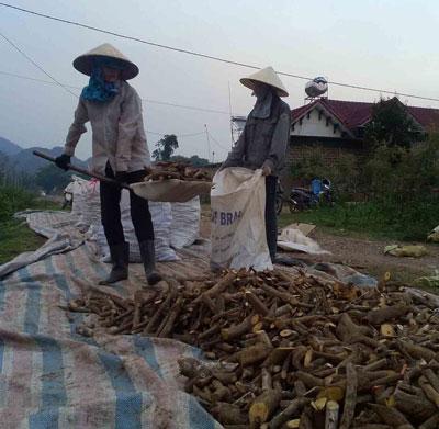 Người dân huyện Quỳ Hợp thu gom cây ba gạc, huyết đằng bán cho thương lái đem sang Trung Quốc