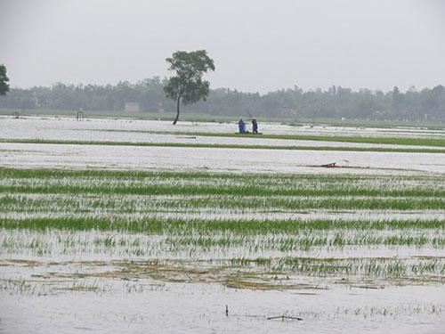 Những cánh đồng lúa ở hạ du sông Bồ trắng xóa vì thủy điện xả lũ