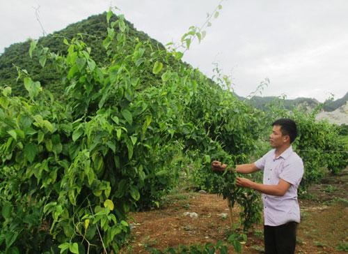Vườn cây sachi trồng tại trang trại của ông Dương Quốc Huy ở xã Đông Sơn, TP Tam Điệp, tỉnh Ninh Bình Ảnh: Tuấn Minh