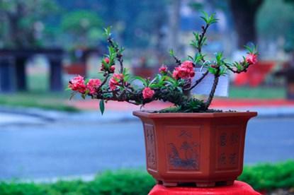 Đào Thất Thốn ra hoa sau Rằm tháng Riêng nhưng năm nay là năm nhuận nên việc cho đào ra hoa cũng dễ hơn mọi năm