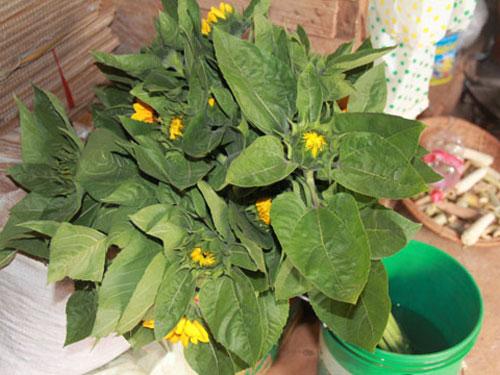 Với giá 4.000-5.000 đồng/bông, nông dân trồng hoa hướng dương đã thành công