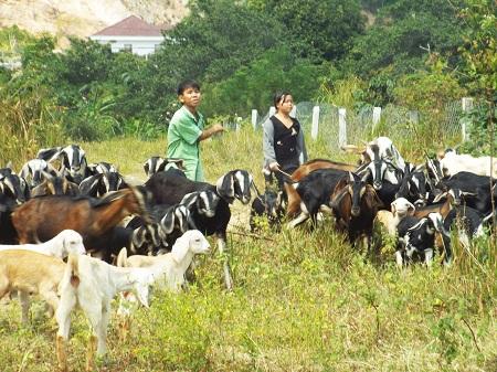 Nghề nuôi dê ở Phước Đồng, Nha Trang