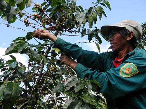 Thu hoạch cà phê Arabica ở Đà Lạt