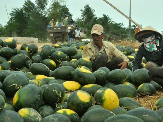 Dưa hấu tái diễn nhiều năm cảnh được mùa mất giá (ảnh nông dân Quảng Nam bán dưa hấu). Ảnh: Tử Trực