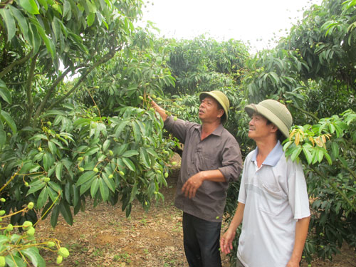 Người trồng vải ở Lục Ngạn đang lo lắng cho đầu ra của sản phẩm