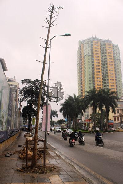 TP Hà Nội đang tìm loại cây phù hợp để thay cho cây mỡ đang trồng trên đường Nguyễn Chí Thanh Ảnh: NGUYỄN HƯỞNG