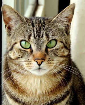 Tức giận vì bị mèo của bạn trai cắn cô gái đã cắn và đánh đập lại anh này không ngừng. Ảnh: Shutter stock