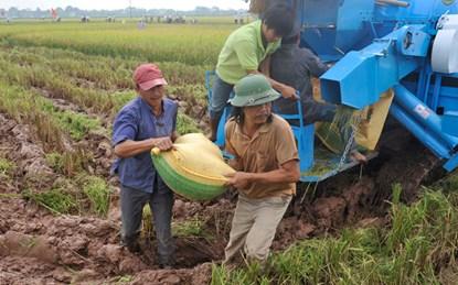 Thu hoạch lúa tại cánh đồng mẫu lớn huyện Chương Mỹ (Hà Nội). L.H.T.