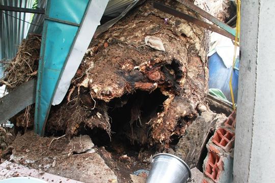 Cây cổ thụ có đường kính gốc khoảng 1 m, đã bị mục ruỗng và tự ngã đổ