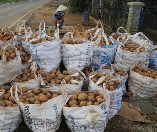 Nông dân trữ khoai tại phường 12, TP Đà Lạt giờ xuất bán với giá cao