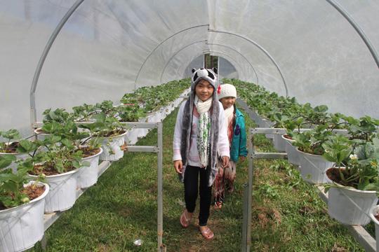 2 nhà vòm trồng dâu trong vườn dâu Biofresh giờ chỉ còn cho tham quan chứ không còn hái như xưa