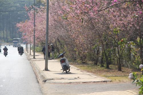 Rất nhiều người đến đường Trần Hưng Đạo để chụp hình mai anh đào.