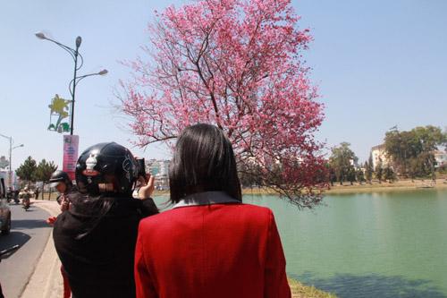 Hoa anh đào dọc bên bờ Hồ Xuân Hương.