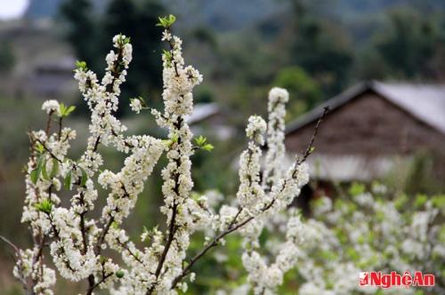 Tuyệt sắc hoa mận Mường Lống