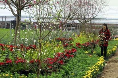 Hoa bạch đào lần đầu tiên được triển lãm số lượng lớn và bán rộng rãi tại Festival hoa Tết Gia Lâm (Hà Nội)
