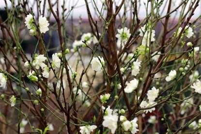 Điểm đặc biệt của loại hoa này là có màu trắng tinh khiết