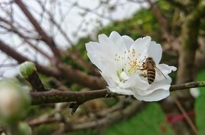 Khác với loại hoa đào khác, bạch đào tỏa hương thơm dịu nhẹ, phảng phất