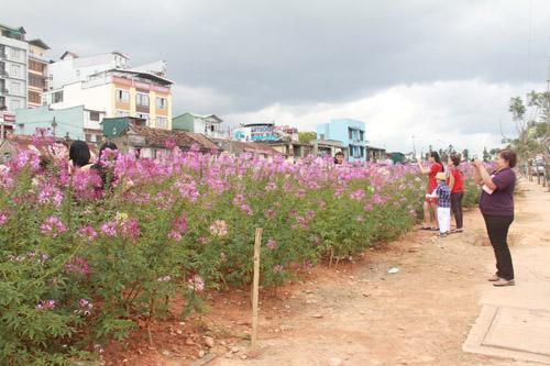 Vẻ đẹp của Hoa Hồng Ri hút hồn du khách phương xa