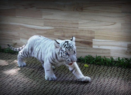 Hổ trắng trong tự nhiên phân bổ ở Bangladesh, Ấn Độ, Bhutan, Trung Quốc và Nepal. Đây là loài có nguy cơ tuyệt chủng rất cao. Hiện trên thế giới chỉ còn lại khoảng 2.300 con, chủ yếu được nuôi trong vườn thú