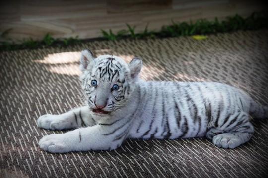 Năm 2009, cặp hổ bố và hổ mẹ khoảng 2 tuổi có nguồn gốc từ vườn thú Elmvale (Canada) được Thảo cầm viên đưa về thuần dưỡng và được đặt tên thân thiện là Lem (cọp đực) và Luốc (cọp cái). Sau một thời gian phối giống, đến nay việc nhân giống loài hổ quý hiếm này mới có kết quả.