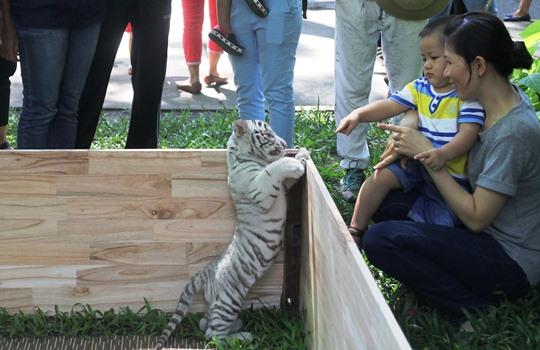 Nhiều gia đình đưa con đến chụp hình, vui chơi với hổ con đáng yêu