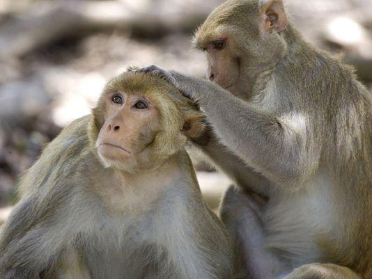 Khỉ nâu là loại dễ nhiễm khuẩn Burkholderia pseudomallei. Ảnh: AP