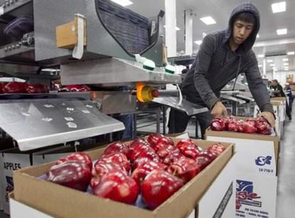 Việt Nam đã nhập khẩu trên 1.200 tấn táo từ Mỹ. Nguồn: Yakima Herald