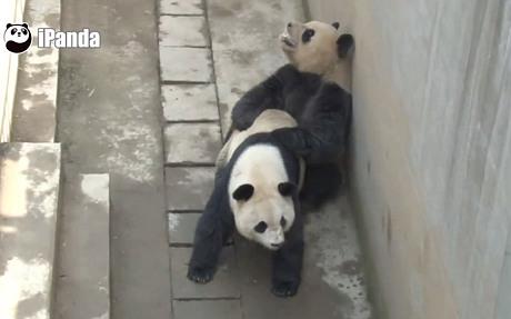 Gấu trúc Xi Mei và Lu Lu